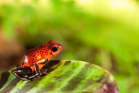 red poison dart frog sitting on leaf with copy space. Exotic rain forest animal with bright vivid colors. Untamed tropical nature.