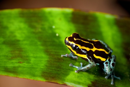 poison dart frog jewel of the rain forest with bright vivid yellow lines. Amphibian sitting on leaf in Amazon rain forest. Tropical and exotic pet animal. Dendrobates ventrimaculatus