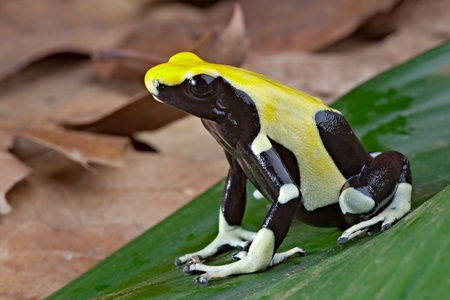 poison dart frog: yellow and black poison dart frog sitting on a leaf in the tropical amazon rain forest. Beautiful and colorful amphibian of the jungle.