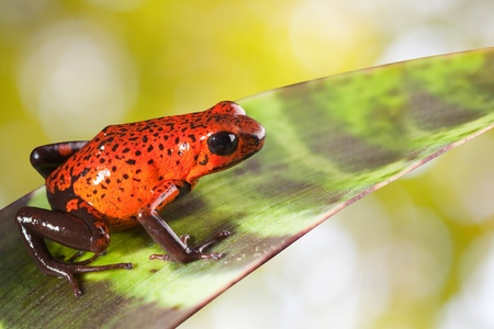amazon rainforest: red poison dart frog on a leaf in rain forest