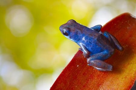 blue frog: rana azul del dardo del veneno sentado en la hoja de color rojo brillante en el bosque tropical lluvioso. fondo verde hermoso. Anfibios de la ex�tica selva de Panam�