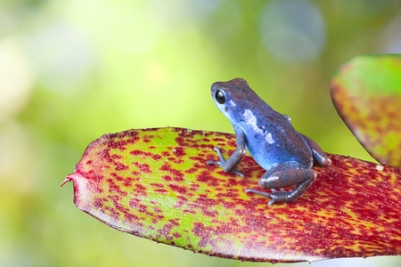 poison dart frog: blue poison dart frog sitting on leaf in tropical rain forest. Oophaga pumilio, strawberry frog. beautiful exotic amphibian with vivid bright colors Stock Photo