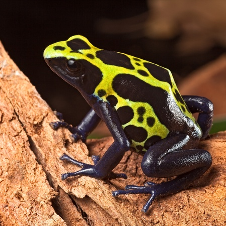yellow and black poison dart frog: poison forg or dart frog with bright vivid colors beautiful amphibian pet of the amazon rain forest Dendrobates tinctorius a poisonous animal