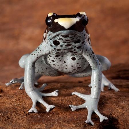 rana venenosa: dardo rana Dendrobates tinctorius, hermoso animal de la selva amaz�nica con los anfibios balck veneno y brillantes colores vivos amarillo y azul