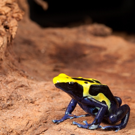 poison dart frog: yellow black poison dart frog with blue belly, beautiful tropical rain forest amphibian a colorful pet animal kept in a terrarium