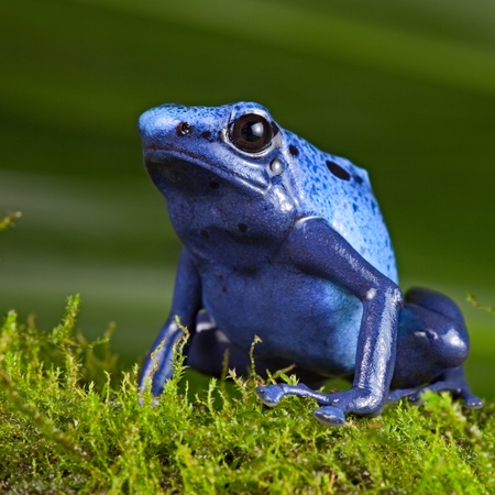 terrarium: blue poison dart frog, poisonous animal of Amazon rainforest in Suriname, Endangered species kep as exotic pet in rain forest terrarium, jungle amphibian Stock Photo