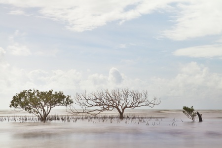 mangrove tree in sea with roots coming out of water long exposure makes sea and leaves blurred a death one next to a living photo