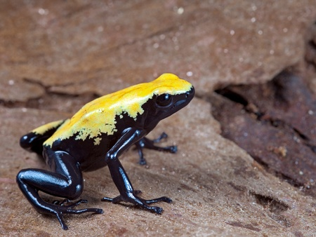 yellow and black poison dart frog,dendrobates galactonotus of Brazil Amazon rain forest, exotic pet animal in tropical rainforest terrarium photo
