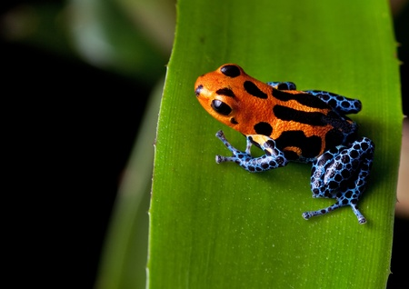 tropical frog: red striped poison dart frog blue legs of amazon rain forest in Peru, poisonous animal of tropical rainforest, pet in terrarium Stock Photo