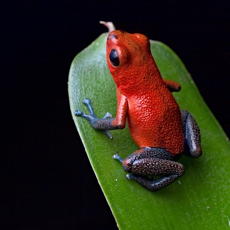 strawberry frog: red poison dart frog blue legs beautiful rainforest species of costa rica and panama kept as a pet in a terrarium ,oophaga pumilio exotic amphibian