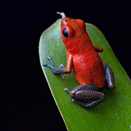 rana venenosa: rojo veneno ancas de rana dardo azul hermosas especies selva tropical de Costa Rica y Panam� como mascota en un terrario, Oophaga pumilio ex�ticos anfibios