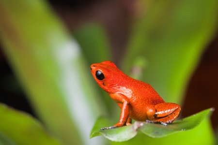 strawberry frog: orange poison dart frog beautiful rainforest species of bocas del toro, panama kept as a pet in a terrarium ,oophaga pumilio exotic amphibian Stock Photo