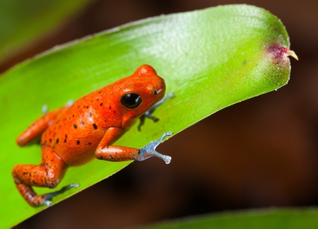 red poison dart frog blue legs beautiful rainforest species of costa rica and panama kept as a pet in a terrarium ,oophaga pumilio exotic amphibian photo