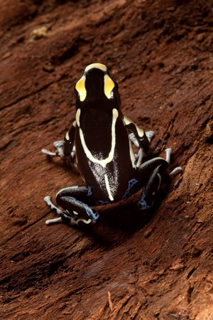 yellow and black poison dart frog: frog with black and yellow poisonous animal poison dart frog amazon rainforest