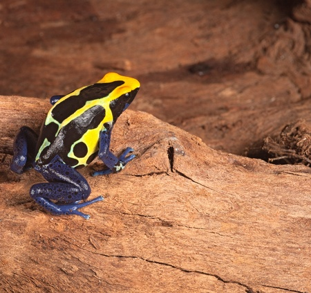 yellow and black poison dart frog: poison dart frog in terrarium poisonous pet animal with bright warning colors black yellow and blue,dendrobates tinctorius