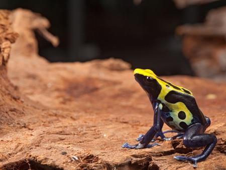yellow and black poison dart frog: yellow black and blue poison dart frog, dendrobates tinctorius pet animal in terrarium