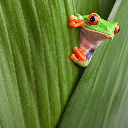 лягушка: Любопытно красными глазами скрывается древесной лягушки в зеленом фоне листьев Agalychnis callydrias экзотических амфибий макро Treefrog Copyspace