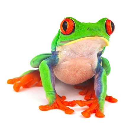 red eye treefrog macro isolated exotic frog curious animal bright vivid colors