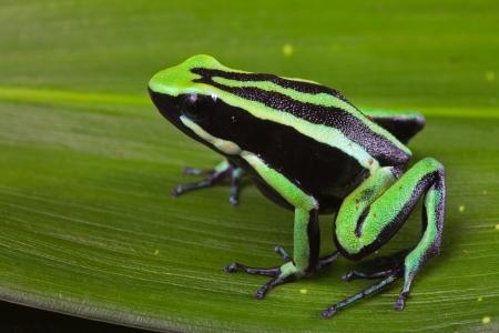 rana venenosa: la rana dardo venenoso rayas sentado en la hoja verde en el animal de la selva tropical del Amazonas linda mascota venenoso en terrario