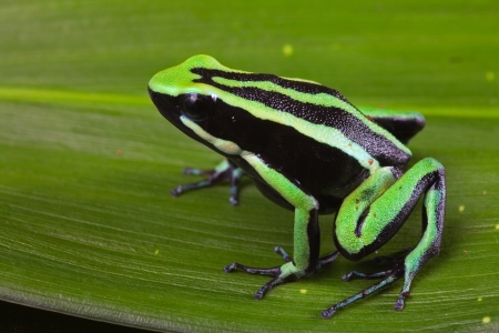 dart frog: striped poison dart frog sitting on green leaf in Amazon rain forest Cute poisonous pet animal in terrarium