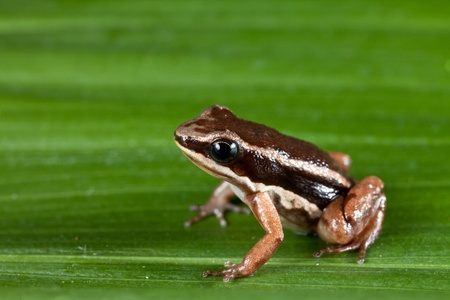 rocket frog in amazon rain forest tropical exotic amphibian Colostethus talamancae photo