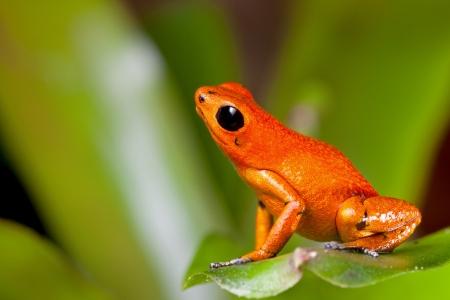 rana venenosa: la rana venenosa de los animales de color naranja de la selva tropical terrario Panam� veneno de rana ex�tica mascota Foto de archivo