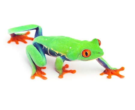 tropical frog: red eyed treefrog frog crawling macro isolated exotic curious animal bright vivid colors of tropical rain forest Costa Rica cute and funny amphibian