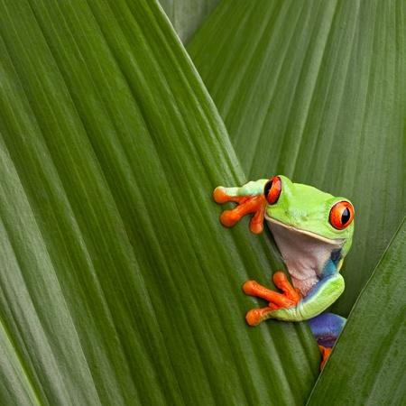 rana: curioso rojo escondite rana arb�rea de ojos en el fondo verde hojea Agalychnis callydrias ex�tica anfibios macro treefrog Costa Rica selva animales copyspace Foto de archivo