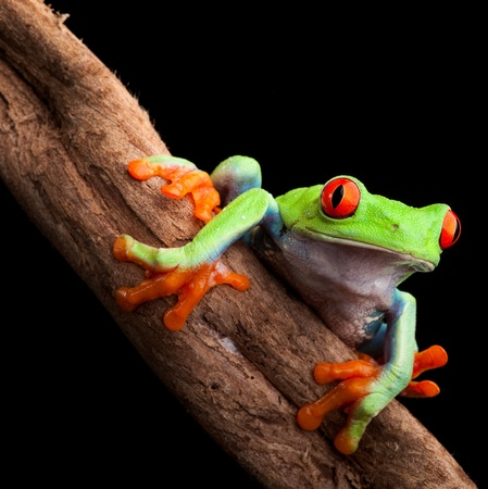 red eyed tree frog at night in tropical rainforest treefrog Agalychnis callydrias in jungle Costa Rica bright vivid colors Stock Photo