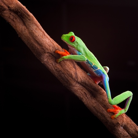 red eyed tree frog at night in tropical rainforest treefrog Agalychnis callydrias in jungle Costa Rica bright vivid colors photo