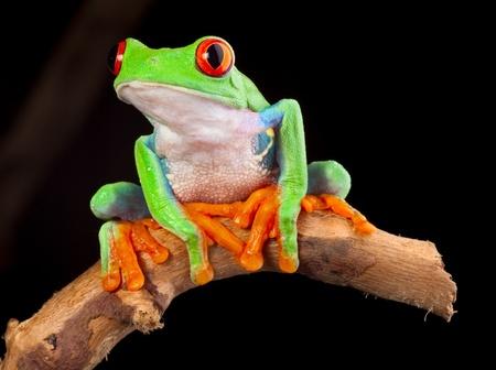 grenouille: rouge eyed tree frog la nuit dans la for�t tropicale rainette Agalychnis callydrias dans la jungle du Costa Rica des couleurs vives