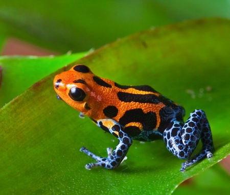 poison dart frog: red poison dart frog sitting on green leaf in amazon rain forest of Peru exotic poisonous animal with warning colors rainforest Dendrobates, ranitomeya imitator