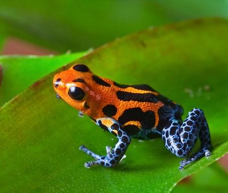 rouge Poison dart frog assis sur feuille verte dans la forêt tropicale amazonienne du Pérou animal venimeux exotiques avec des couleurs d'avertissement Dendrobates la forêt tropicale, ranitomeya imitateur