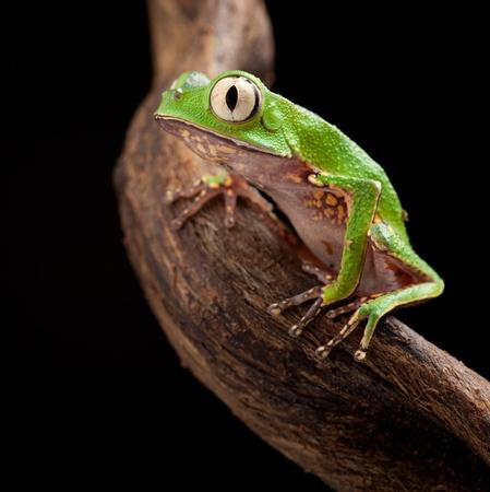occhi grandi: rana con gli occhi grandi sul ramo di un albero tropicale in Amazzonia. Macro di animale bella notte nella giungla foresta pluviale del Sud America.