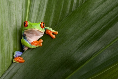 curious red eyed tree frog hiding in green background leafs Agalychnis callydrias exotic amphibian macro treefrog  Costa Rica rain forest animal copyspace Stock Photo