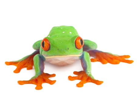tropical frog: red eye treefrog macro isolated exotic frog curious animal bright vivid colors