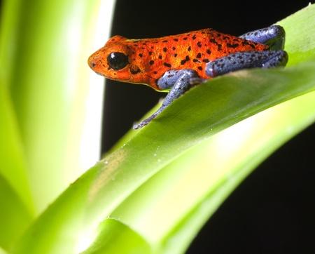 dart frog: red poison dart frog dendrobates pumilio tropical rainforest frog