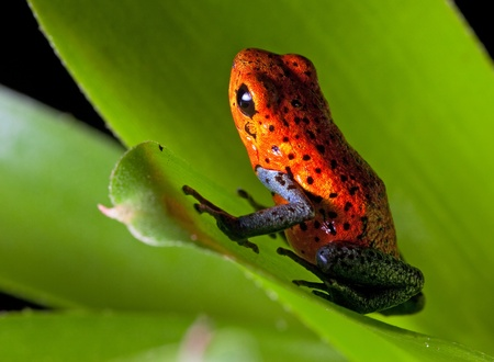 strawberry frog: frog red strawberry poison dart frog on border of panama and costa Rica poisonous animal of tropical rainforest in early sun light Stock Photo