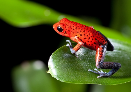 strawberry frog: frog red strawberry poison dart frog on border of panama and costa Rica poisonous animal of tropical rainforest