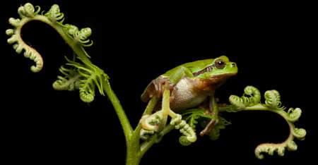protected tree: European tree frog at night green protected animal