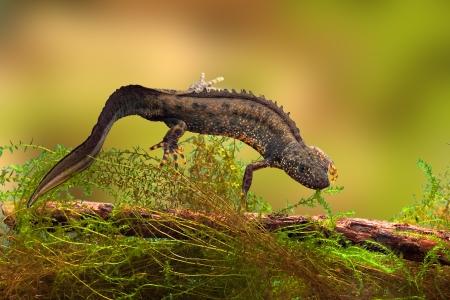 salamander: grande tritone crestato o acqua drago in stagno d'acqua dolce in via di estinzione e specie protette. Conservazione della natura animale, maschio da riproduzione