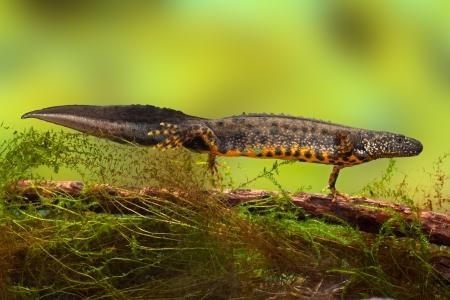 tritón crestado o de agua dulce en peligro de extinción en el dragón de agua de los estanques y especies protegidas. La conservación de la naturaleza animal, la cría macho Foto de archivo