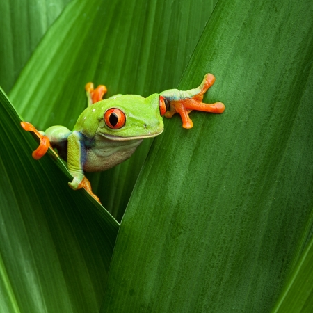 rainforest animal: red eyed tree frog crawling between leafs in jungle at border of Panama and Costa Rica in the tropical rainforest, cute night animal with vivid colors