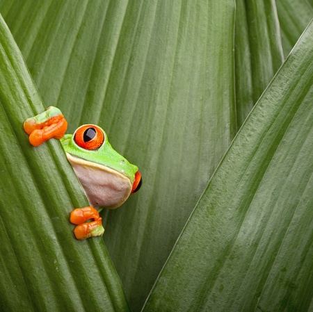 red eyed tree frog crawling between leafs in jungle at border of Panama and Costa Rica in the tropical rainforest, cute night animal with vivid colors