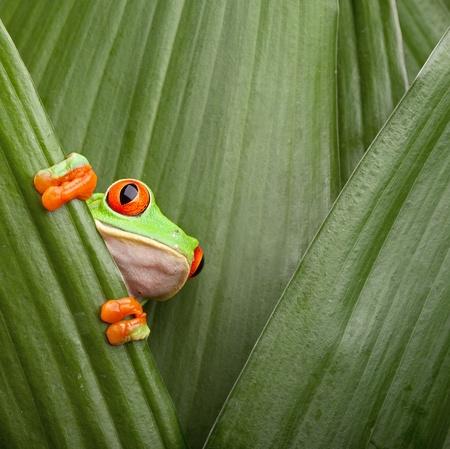 frosch: Rot gemusterter Baumfrosch kroch zwischen Bl�ttern im Dschungel an der Grenze von Panama und Costa Rica im tropischen Regenwald, s��e Nacht Tier mit lebendigen Farben Lizenzfreie Bilder