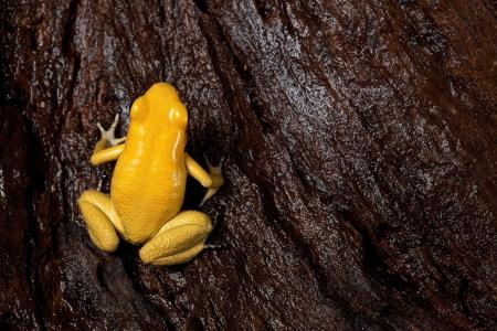 poison frog: poison frog very poisonous animal with warning colors Phyllobates terribilis Colombia amazon rainforest toxic amphibian Stock Photo