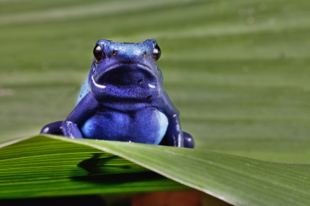 frog of amazon rainforest, blue animal of tropical jungle photo