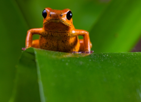 strawberry frog: Poison frog of tropical rainforest in Panama and osta Rica Stock Photo