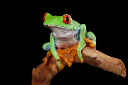 red eyed leaf frog: red eyed tree frog in rainforest Costa Rica curious cute night animal tropical exotic amphibian