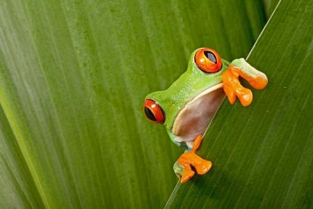 rode eyed boomkikker gluren nieuwsgierig tussen groene bladeren in het regenwoud in Costa Rica nieuwsgierig schattige nachtdier tropische exotische amfibie Stockfoto